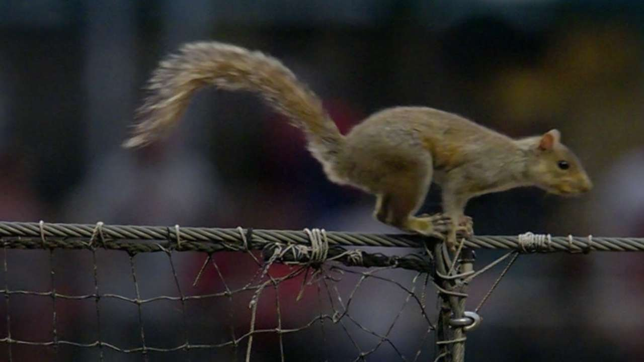 Amazing: A squirrel climbs netting & jumps on Phillies players in the dugout