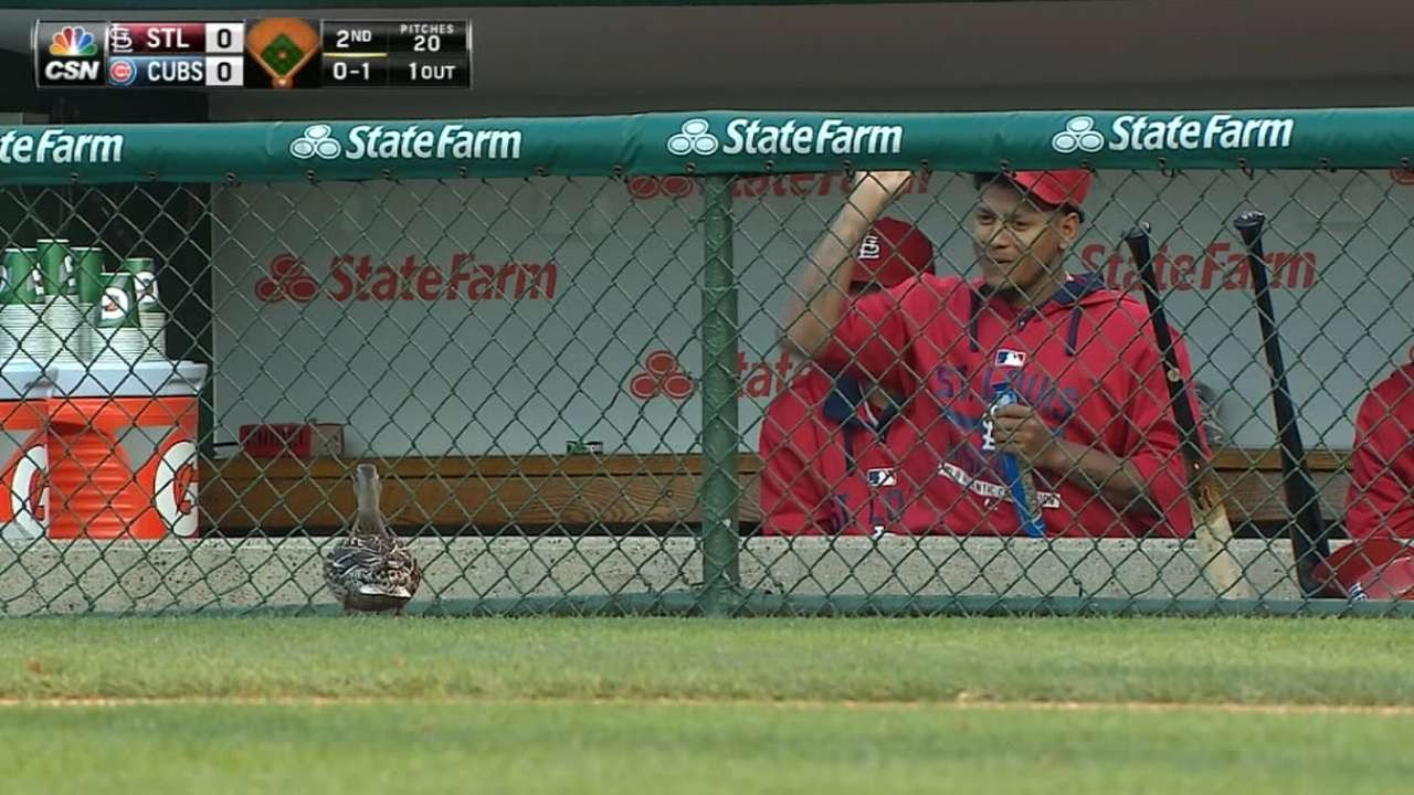 Cardinals players feed a duck near the dugout