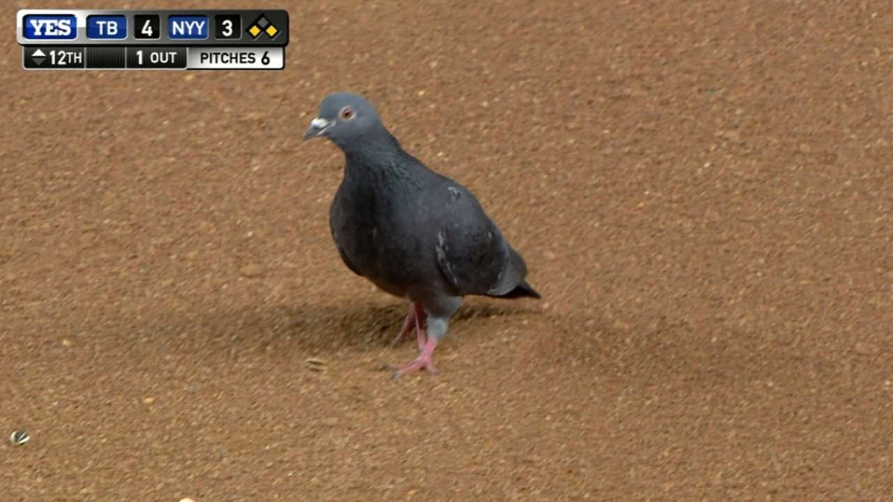 Pigeon swoops over & makes Kevin Kiermaier drop at first base