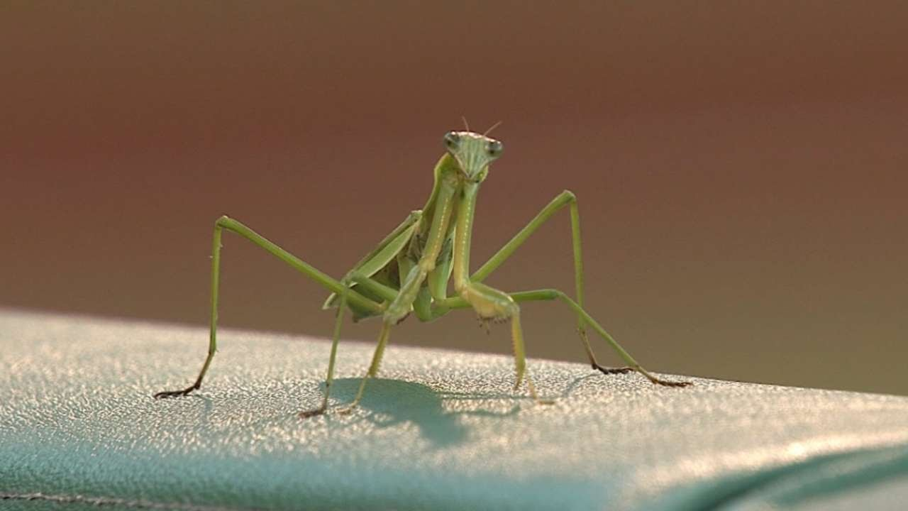 Praying mantis climbs on Giants outfield Juan Perez before game