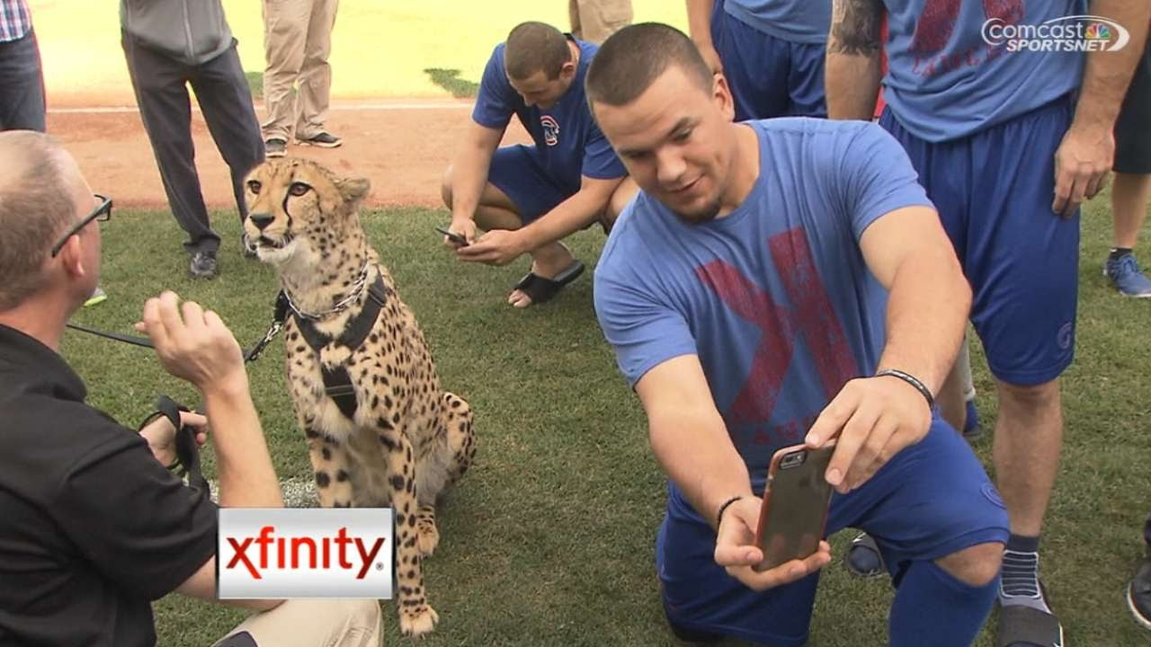Chicago Cubs players take selfies with cheetah before game