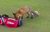 Clever fox steals golfers wallet from his golf bag