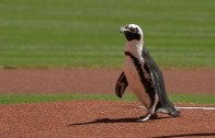 Penguin delivers the game ball for the Reds